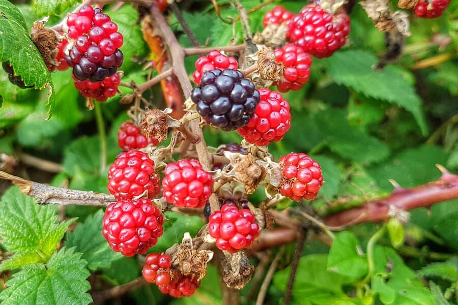 Ripe and unripe wild Sussex blackberries