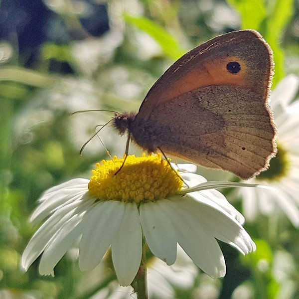 Meadow Brown - June