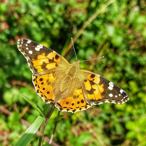 Painted Lady butterfly, South Downs National Park, West Sussex
