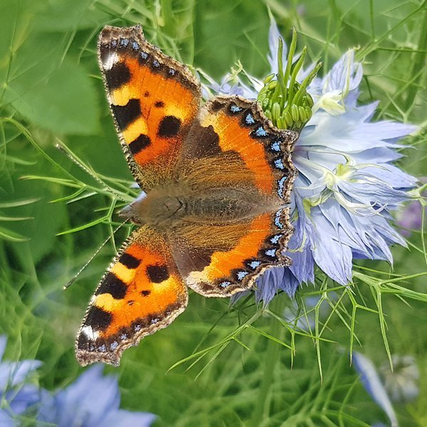 Small Tortoiseshell butterfly sitting on a Love-in-a-mist flower