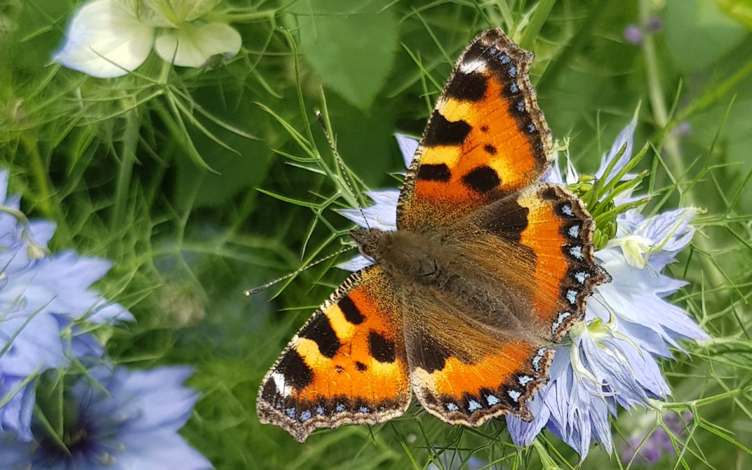 Small tortoiseshell butterfly in West Dean Gardens, South Downs National Park