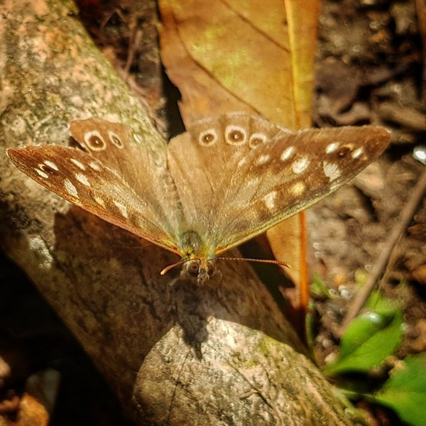 Speckled Wood butterfly, South Downs National Park, West Sussex, England,